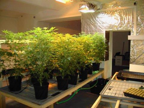 Cannabis Motherplants   Indoor