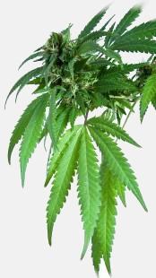 Marijuana V Variation 1